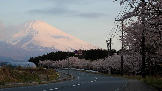 パノラマロードの富士山×桜