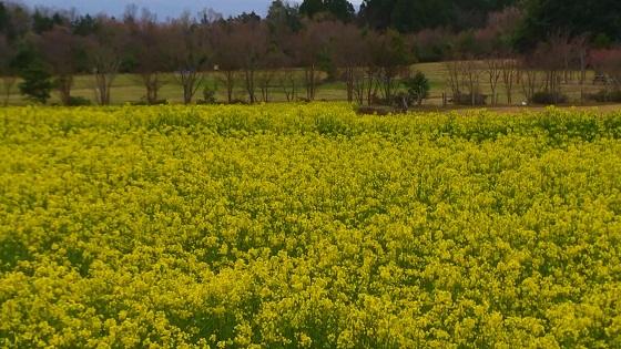 菜の花畑(2)