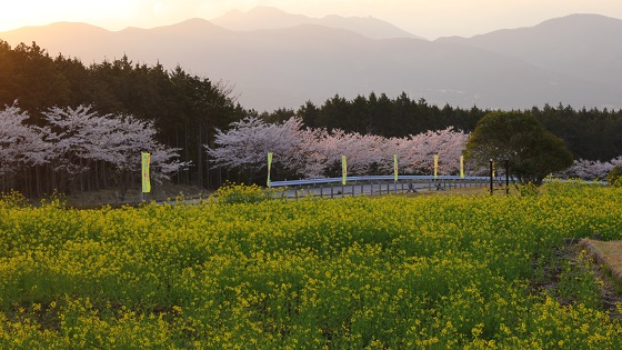 菜の花×桜(2)