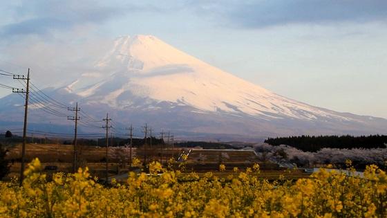 菜の花×桜×富士山
