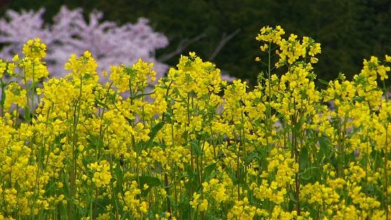 菜の花×桜(1)