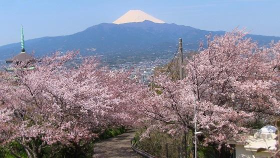 香貫山中腹(香陵台付近)と桜景色(1)