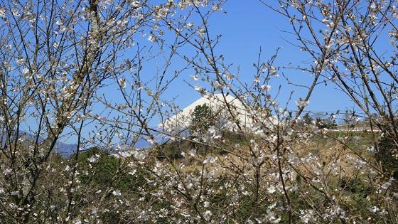 富士山×桜