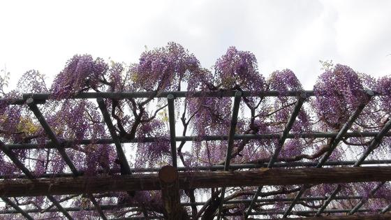 藤の花画像1