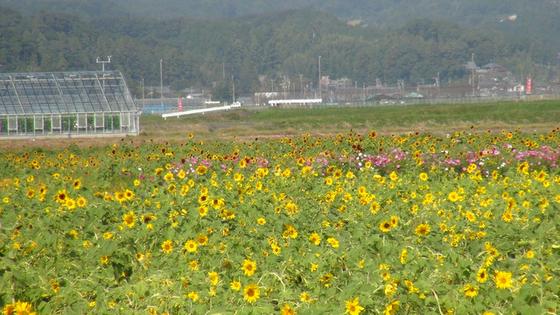 ひまわり畑1