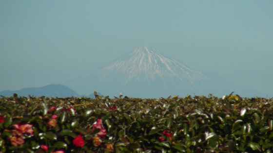富士山×茶畑1