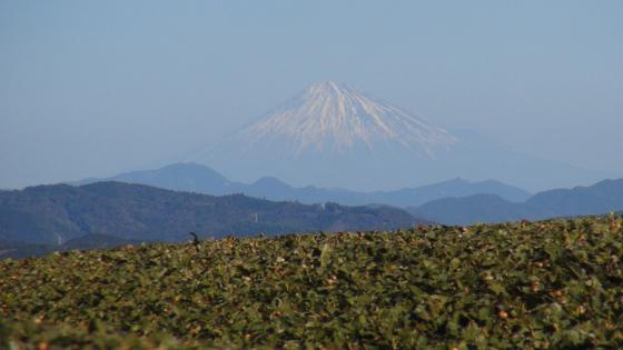 富士山×茶畑2