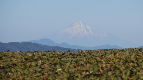富士山×茶畑3