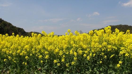 菜の花畑5