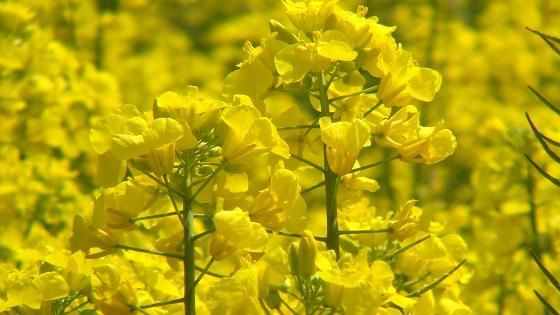 菜の花畑9